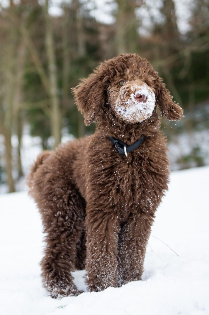 Long curly haired guide dog stands in the snow.
